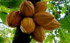 Los 'booms' en perspectiva: cacao y banano